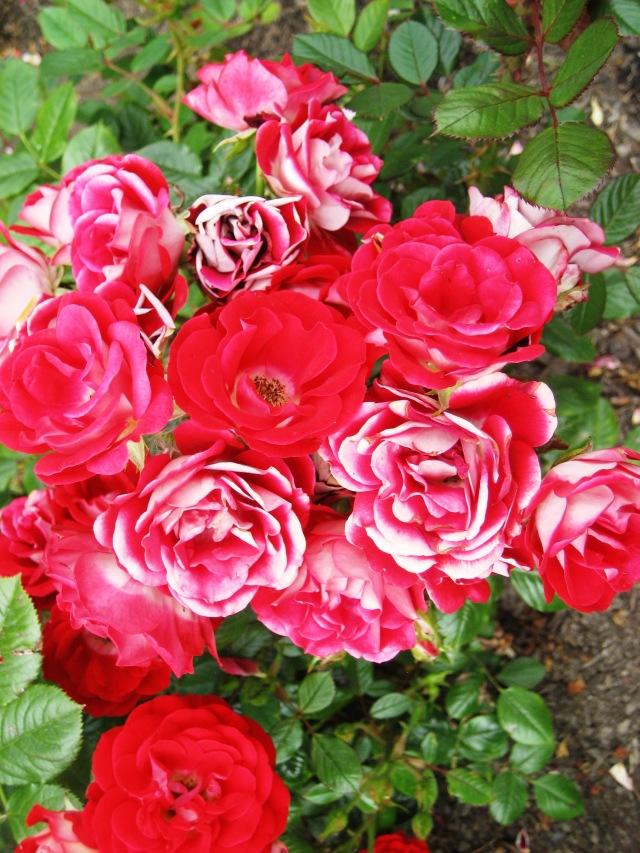 Roses sgtu