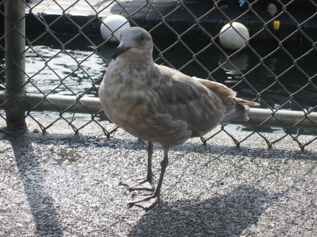 Black Beak - Gull with Gall