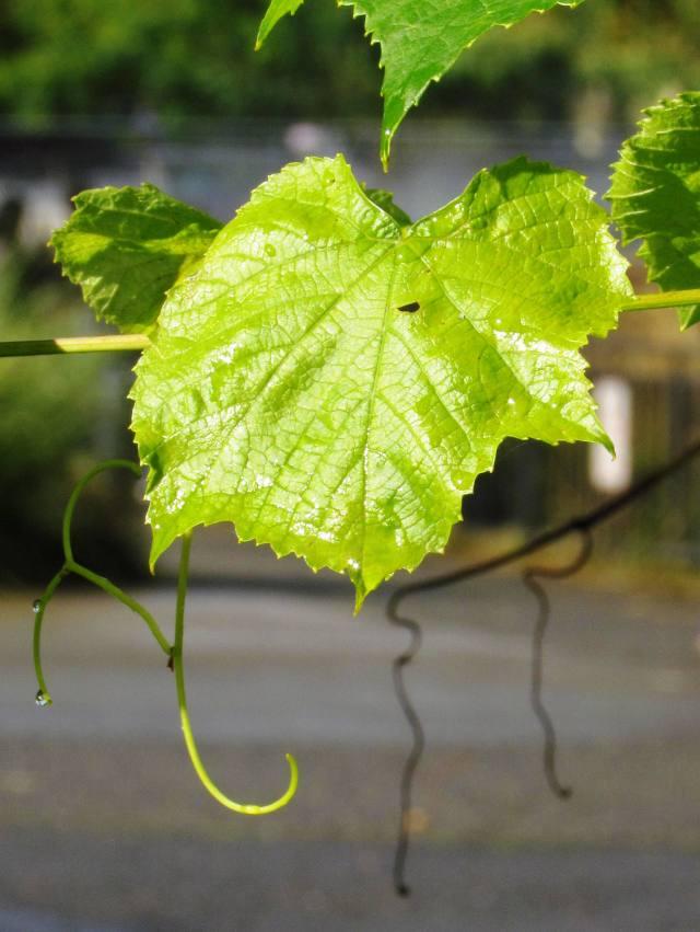 leaf w drop