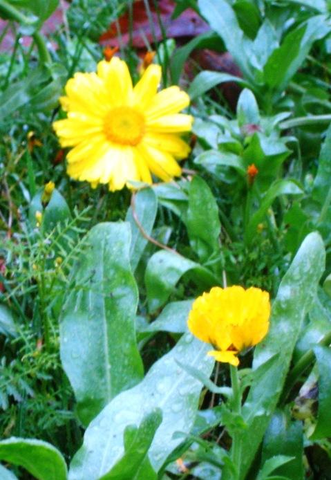orange flower 2 companions