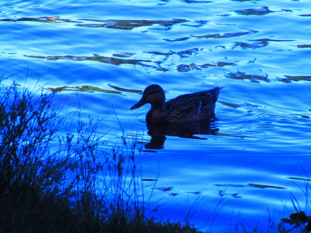 Duck on Lake Wilderness