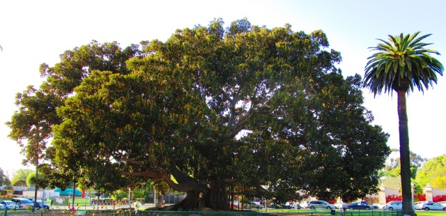 The Tree at Balboa Park