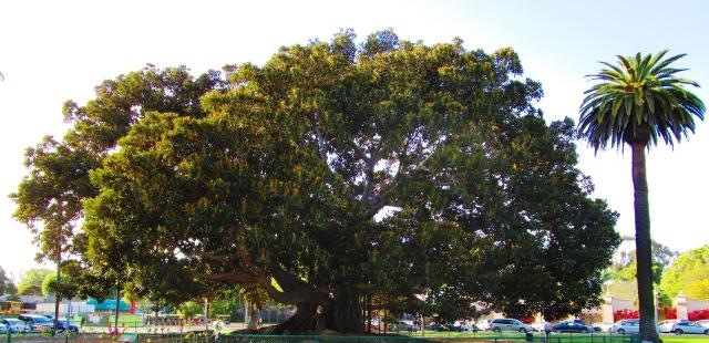 The Tree at Balboa Park