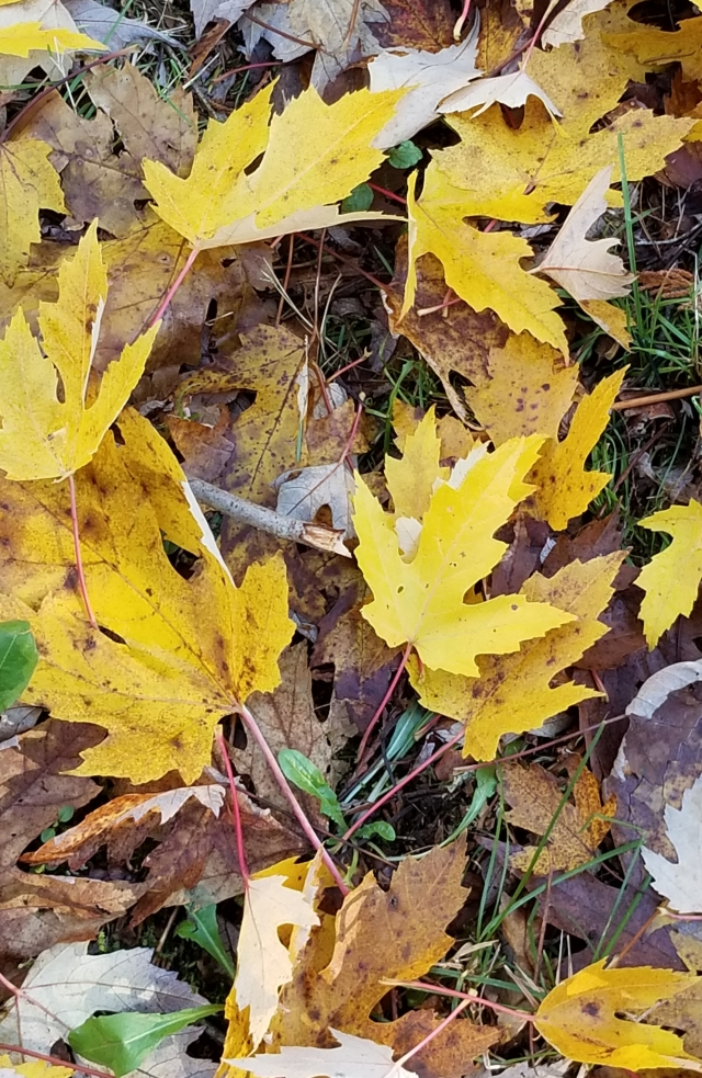 Yellow Fallen Leaves 11.2020